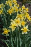 Porciones de narcisos amarillos en el parque en primavera Fotos de archivo libres de regalías