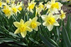 Porciones de narcisos amarillos en el parque en primavera Fotografía de archivo libre de regalías