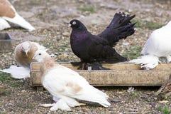 Porciones de palomas Fotografía de archivo libre de regalías