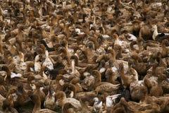 Porciones de pato en granja local Foto de archivo libre de regalías