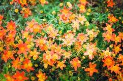 Porciones de pequeñas flores anaranjadas Fondo hermoso del verano fotografía de archivo libre de regalías