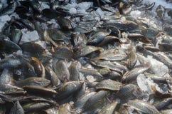 Porciones de pescados sa-encendidos músculo pectoral del trichogaster Imagen de archivo libre de regalías
