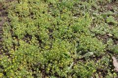 Porciones de plantas del testiculata de Ceratocephala con las flores amarillas embotadas Imagen de archivo