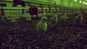 Porciones de pollo del bebé en granja avícola moderna grande metrajes