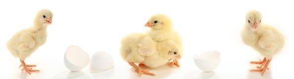 Porciones de pollos del bebé Imagenes de archivo