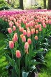 Porciones de rosa a los tulipanes púrpuras que crecen en una forma triangular Fotografía de archivo libre de regalías