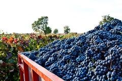 Porciones de uvas en el viñedo Fotos de archivo libres de regalías