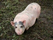 Porco Foto de Stock