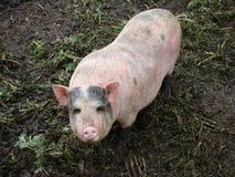 Porco Imagens de Stock Royalty Free