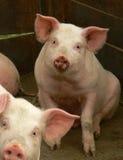 Porco Imagem de Stock Royalty Free
