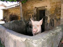 Porco Fotografia de Stock