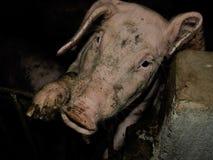 Porco Foto de Stock Royalty Free