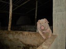 Porco Imagens de Stock