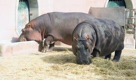 Porco animal África do mamífero hoofed do hipopótamo grande fotografia de stock