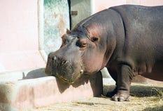Porco animal África do mamífero hoofed do hipopótamo grande fotos de stock