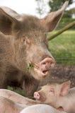 Porco biológico da exploração agrícola Imagens de Stock