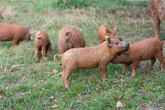 Porco bonito Foto de Stock