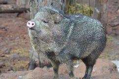Porco bonito do javerline com seu nariz cor-de-rosa no ar fotografia de stock royalty free