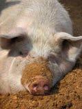 Porco branco Imagens de Stock