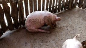 Porco branco em uma exploração agrícola video estoque