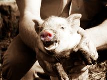 Porco cor-de-rosa Foto de Stock Royalty Free