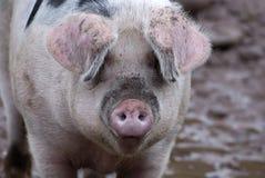 Porco cor-de-rosa Imagem de Stock Royalty Free