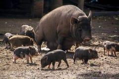 Porco da mãe e muitos leitão bonitos ao redor fotografia de stock