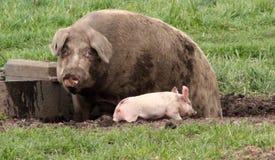Porco da mamã no estrume Foto de Stock Royalty Free