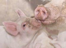 Porco da matriz e do bebê Imagem de Stock