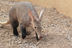 Porco-da-terra Fotografia de Stock Royalty Free