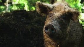 Porco de Brown em uma exploração agrícola vídeos de arquivo