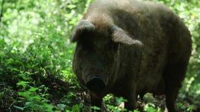 Porco de Brown na exploração agrícola vídeos de arquivo