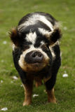 Porco de Cutie Kune Kune fotografia de stock royalty free