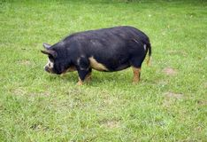 Porco de Kune Kune Fotos de Stock Royalty Free