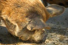 Porco de Kune Kune Fotografia de Stock Royalty Free