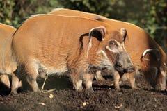 Porco de Red River. Imagem de Stock
