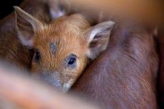 Porco do bebê fotografia de stock