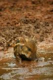 Porco do bebê na lama 4 imagem de stock royalty free