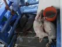 Porco do branco de Blcak Imagem de Stock Royalty Free