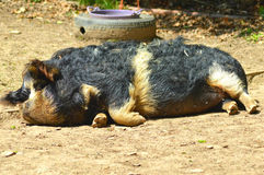 Porco do kune de Kune Fotos de Stock