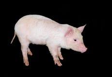 Porco do leitão isolado Imagens de Stock