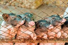 Porco do porco na cerca oxidada para o animal de alimentação para o fundo ou o te Fotografia de Stock