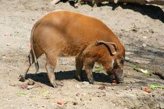 Porco do rio vermelho Imagens de Stock Royalty Free