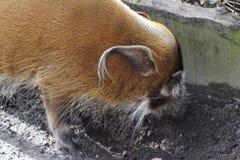 Porco do rio vermelho Fotografia de Stock