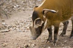Porco do rio vermelho no captiveiro Fotos de Stock
