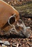 Porco do rio vermelho (porcus de Potamochoerus) Fotografia de Stock
