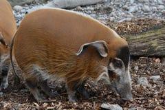 Porco do rio vermelho (porcus de Potamochoerus) Foto de Stock Royalty Free
