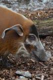 Porco do rio vermelho (porcus de Potamochoerus) Fotografia de Stock Royalty Free