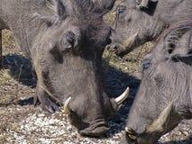 Porco do Wart Imagem de Stock