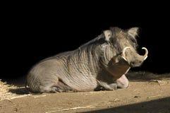 Porco do Wart Fotografia de Stock